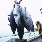 アミノ酸 食べ物 魚(マグロ)