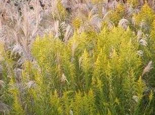 秋花粉症の原因の草花