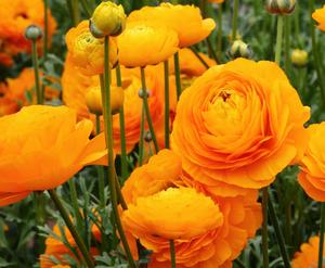 アネモネ 花言葉 伝説2 種類が同じのキンポウゲ科の花言葉【まとめ】