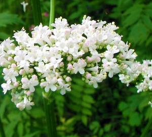 キンポウゲ科カノコソウ花言葉