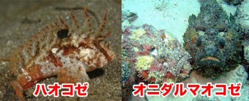 海水浴,危険生物,海,沖縄,毒,オコゼ